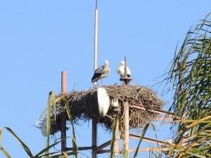storks in morocco