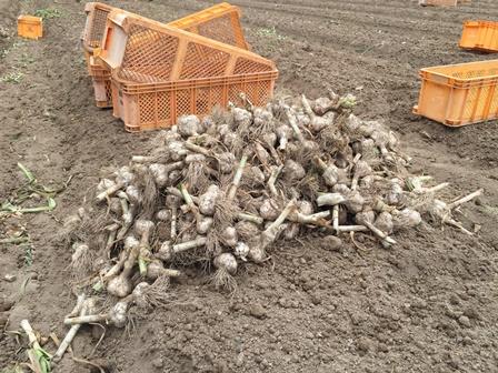 load of garlic