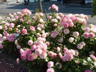 rose_ichikawa10