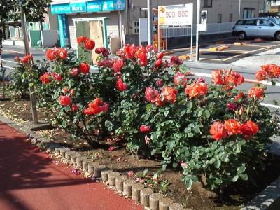 rose_ichikawa15