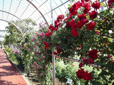 rose_ichikawa17