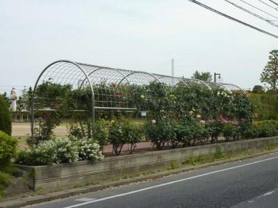 rose_ichikawa2